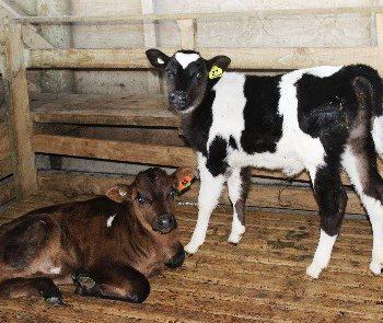 Healthy Calves