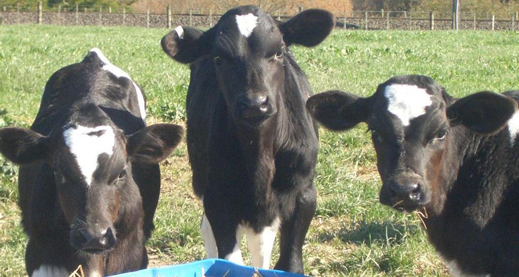 calf-2016-2